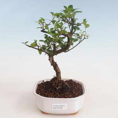 Pokojová bonsai - Sagerécie thea - Sagerécie thea 412-PB2191300 - 1