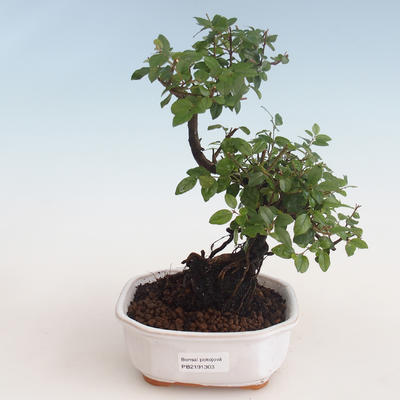Pokojová bonsai - Sagerécie thea - Sagerécie thea 412-PB2191303 - 1