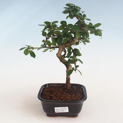 Pokojová bonsai - Carmona macrophylla - Čaj fuki PB2191304 - 1