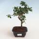 Pokojová bonsai - Carmona macrophylla - Čaj fuki PB2191304 - 1/5