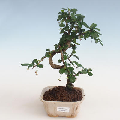 Pokojová bonsai - Carmona macrophylla - Čaj fuki PB2191307 - 1