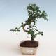 Pokojová bonsai - Carmona macrophylla - Čaj fuki PB2191307 - 1/5