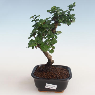 Pokojová bonsai - Carmona macrophylla - Čaj fuki PB2191308 - 1