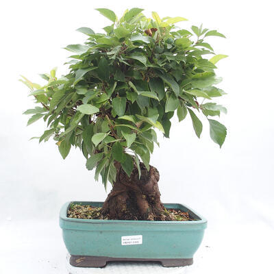 Vonkajší bonsai -Malus halliana - Maloplodé jabloň - 1