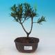 Izbová bonsai - Podocarpus - Kamenný tis - 1/4