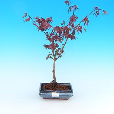 Venkovní bonsai - Javor palmatum Trompenburg - Javor  dlanitolistý červený - 1