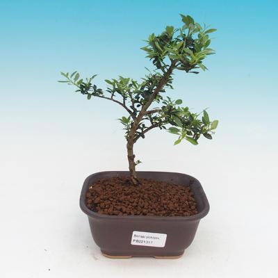 Izbová bonsai - Cezmína - 1