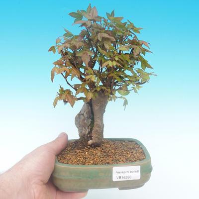 Shohin - Javor-Acer burgerianum na skále - 1
