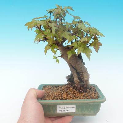 Shohin - Javor-Acer burgerianum na skale - 1