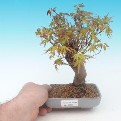Shohin - Javor-Acer palmatum - 1