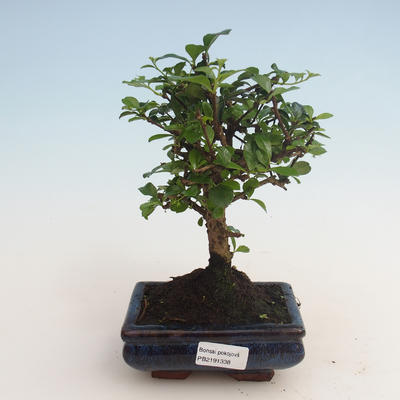 Pokojová bonsai - Carmona macrophylla - Čaj fuki 412-PB2191338 - 1