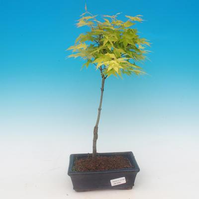 Acer palmatum Aureum - Javor dlanitolistý zlatý - 1