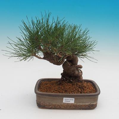 Pinus thunbergii - borovica thunbergova - 1
