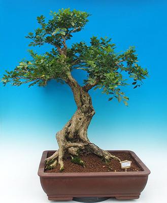 Izbová bonsai- Muraya paniculata - 1