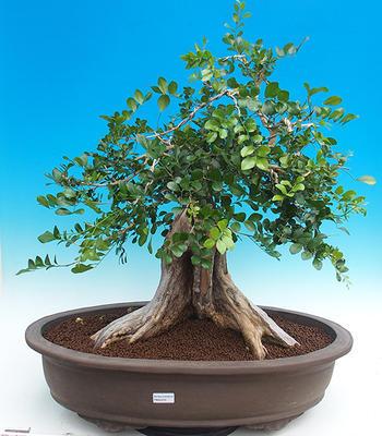 Pokojová bonsai - Muraya paniculata - 1