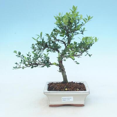 Izbová bonsai - Ilex crenata - Cezmína - 1
