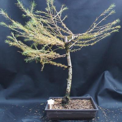 Yamadori - Smrekovec opadavý - Larix decidua - 1