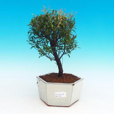 Pokojová bonsai Syzygium -Pimentovník PB217387 - 1