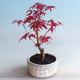 Venkovní bonsai - Javor palmatum DESHOJO - Javor dlanitolistý - 1/3