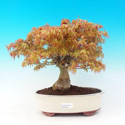 Venkovní bonsai -Javor dlanitolistý VB30428