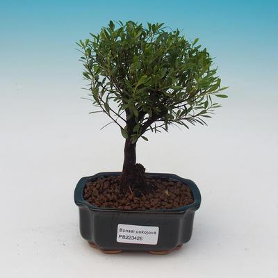 Pokojová bonsai - Fraxinus uhdeii - pokojový Jasan - lesík - 1