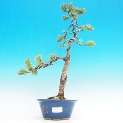 Venkovní bonsai -Borovice parviflora NEGISHI  VB13428