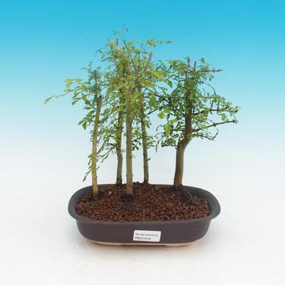 Izbová bonsai - Fraxinus uhdeii - izbový Jaseň - lesík - 1