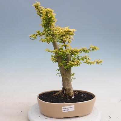 Izbová bonsai - Ligustrum Aurea - Vtáčí zob - 1
