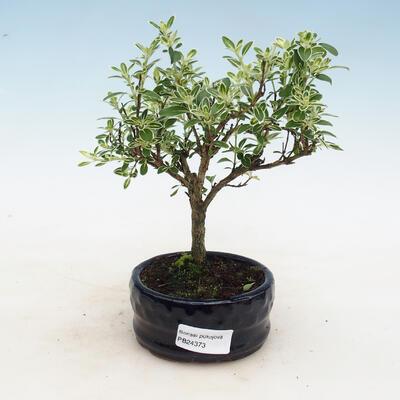 Izbová bonsai - Serissa foetida - Strom tisíce hviezd