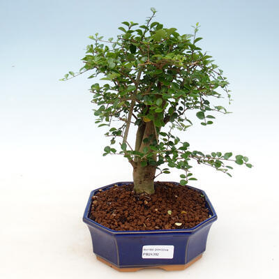 Izbová bonsai -Ligustrum retusa - malolistá vtáčí zob - 1