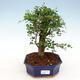 Izbová bonsai -Ligustrum retusa - malolistá vtáčí zob - 1/3
