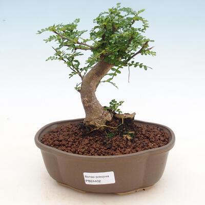 Izbová bonsai - Zantoxylum piperitum - Pepřovník - 1