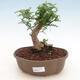 Izbová bonsai - Zantoxylum piperitum - Pepřovník - 1/4