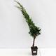 Izbová bonsai - Buxus harlandii - korkový buxus - 1/7