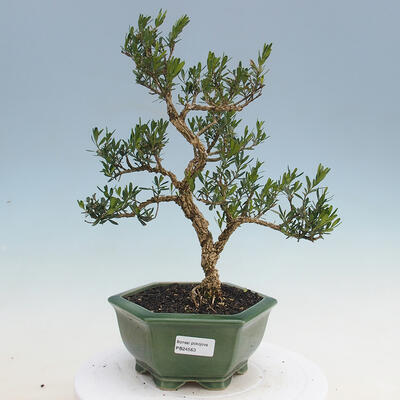 Izbová bonsai - Buxus harlandii - korkový buxus - 1