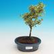 Pokojová bonsai - Serissa foetida Variegata - Strom tisíce hvězd - 1/2