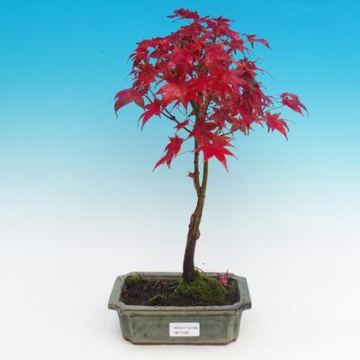 Venkovní bonsai - Javor dlanitolistý - 1