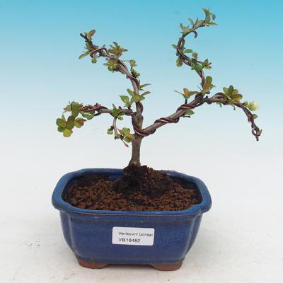 Vonkajšie bonsai - Chaenomeles superba jet trail -Kdoulovec biely - 1