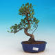 Izbová bonsai - Ficus retusa - malolistá fikus - 1/2