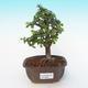 Izbová bonsai - Portulakaria Afra - Tlustice - 1/2