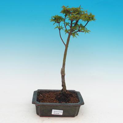Vonkajší bonsai -Javor malolistá SHISHIGASHIRA - 1