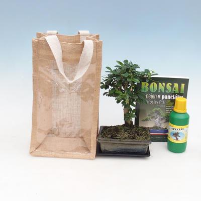 Pokojová bonsai v dárkové krabičce, Carmona-čaj fuki