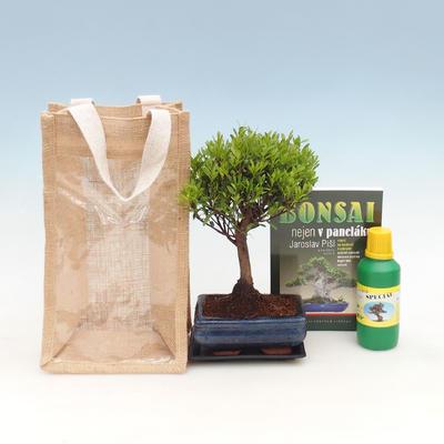 Pokojová bonsai v dárkové krabičce, Syzigium-Pimentovník