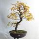 Venkovní bonsai - Javor jasanolistý - Acer negundo - 1/4