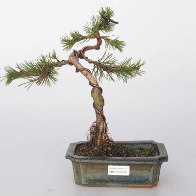 Venkovní bonsai - Pinus mugo  - Borovice kleč