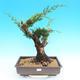 Yamadori Juniperus chinensis - jalovec - 1/6