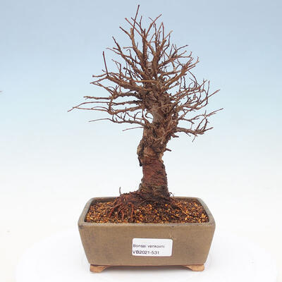 Vonkajšie bonsai - Zelkova - Zelkova Nirom - 1