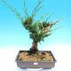 Yamadori Juniperus chinensis - jalovec - 1/5