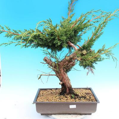Yamadori Juniperus chinensis - jalovec - 1