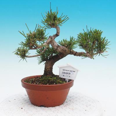 Pinus thunbergii - Borovice thunbergova - 1